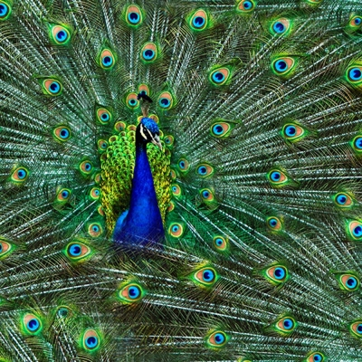 PEACOCK ALLOVER  PAGEANT OF COLOR PEACOCKS  100/% COTTON FABRIC  FREE US SHIPPING